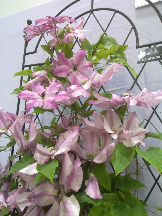 Clematis Charissima display shot