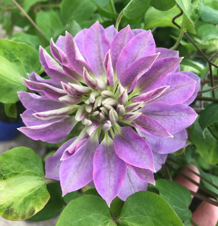 Clematis Princess Charlotte full flower