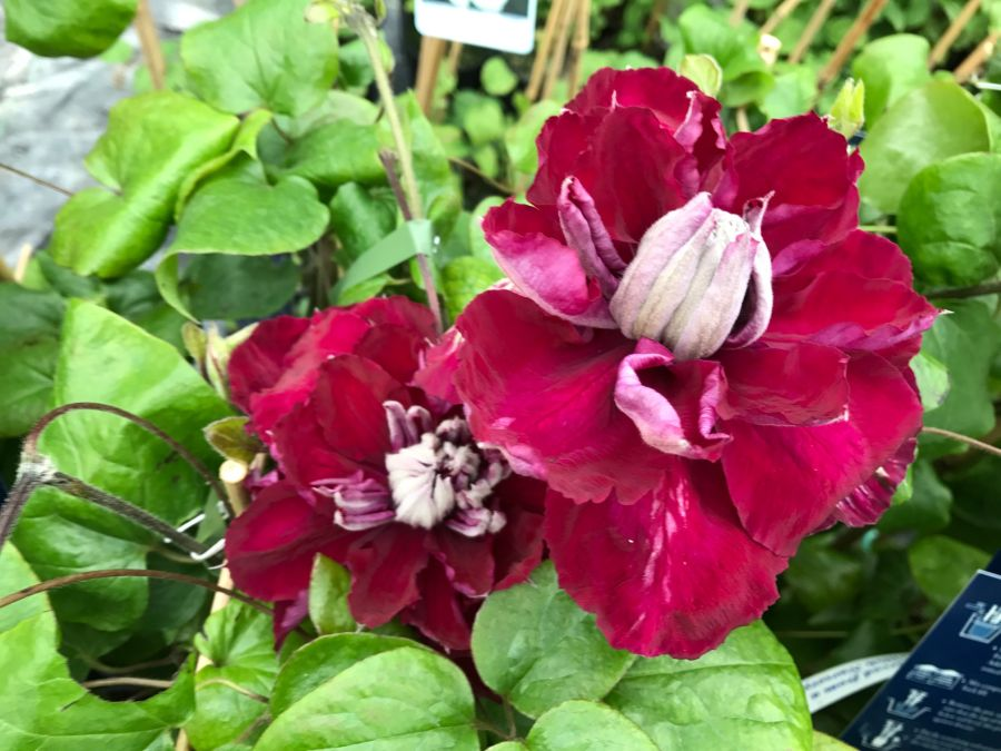 Clematis Charmaine just opening double