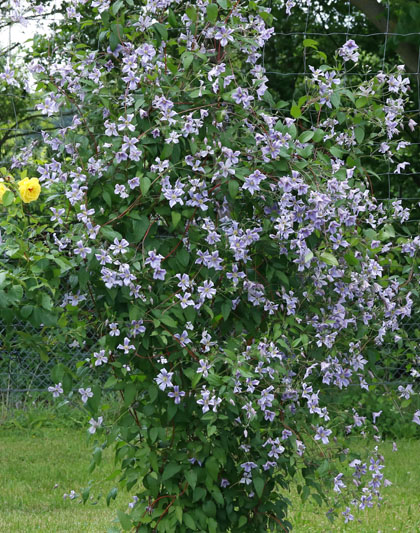 Clematis viticella Chatsworth mass shot