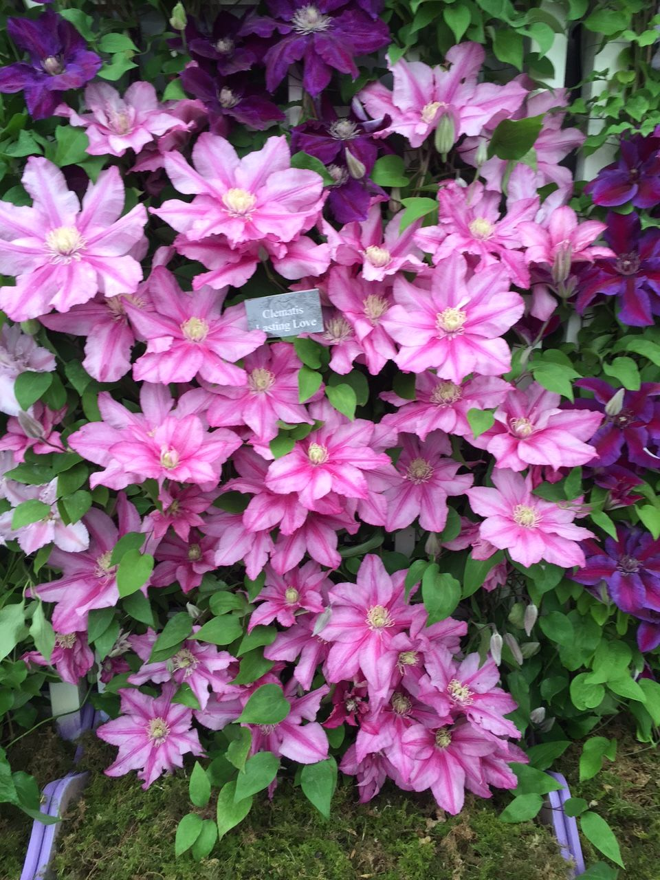 Clematis Lasting Love