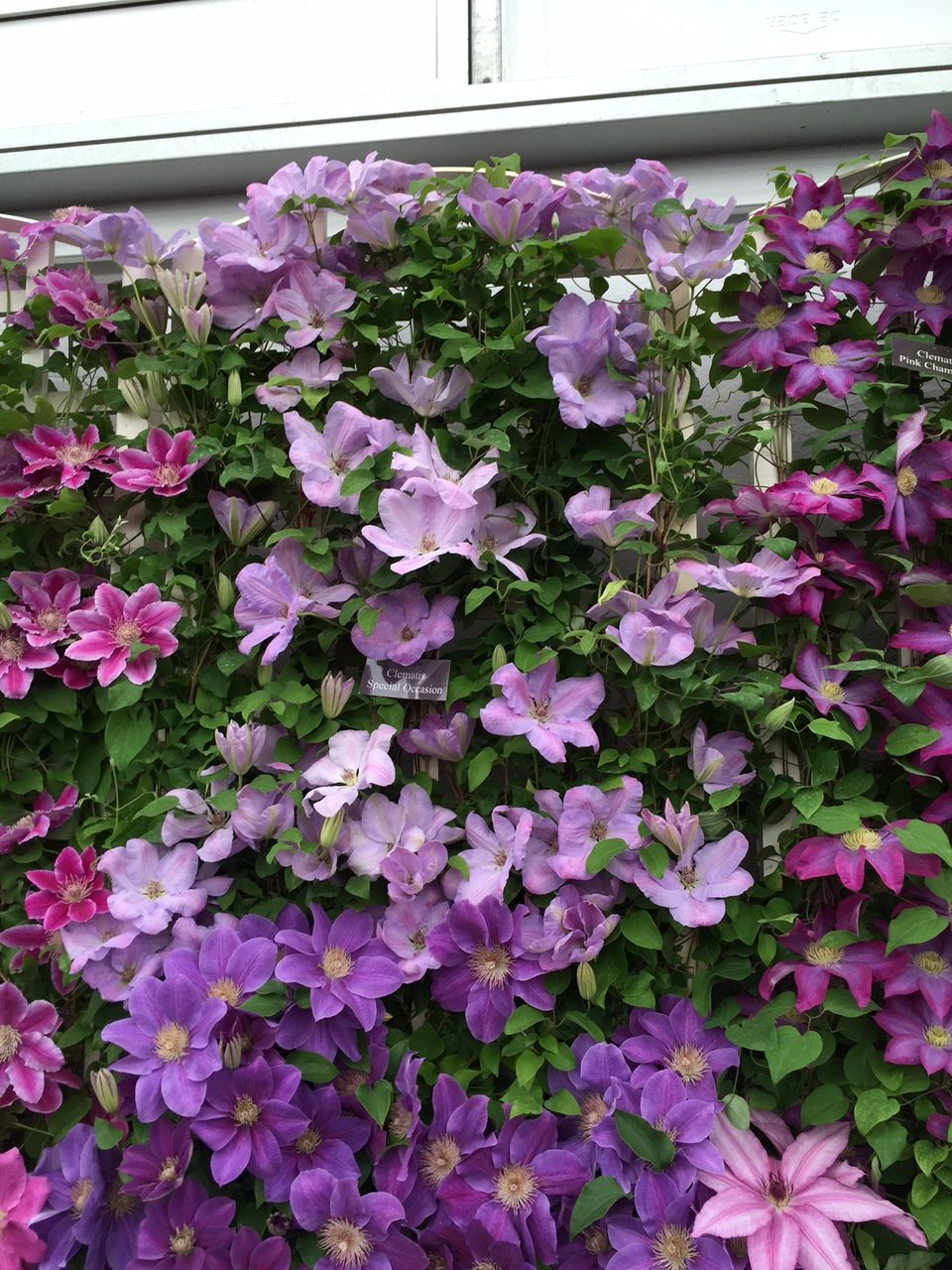 Clematis Special Occasion