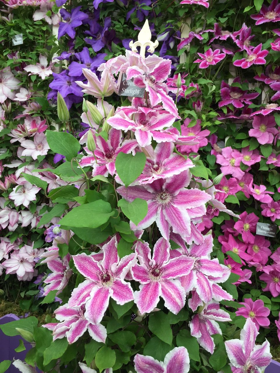Clematis Starlight