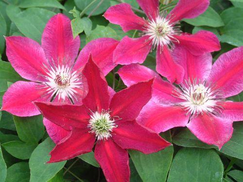 Clematis Ruby Wedding plant groupshot