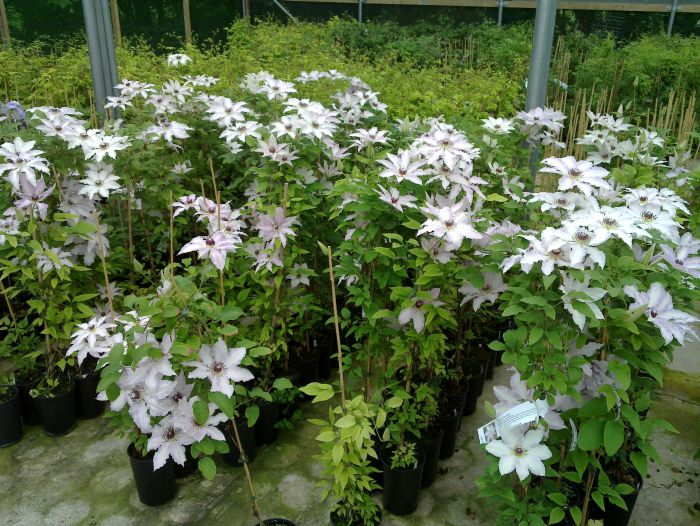 Clematis Clair de lune mass shot
