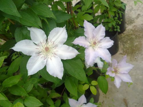 Clematis Congratulations cluster