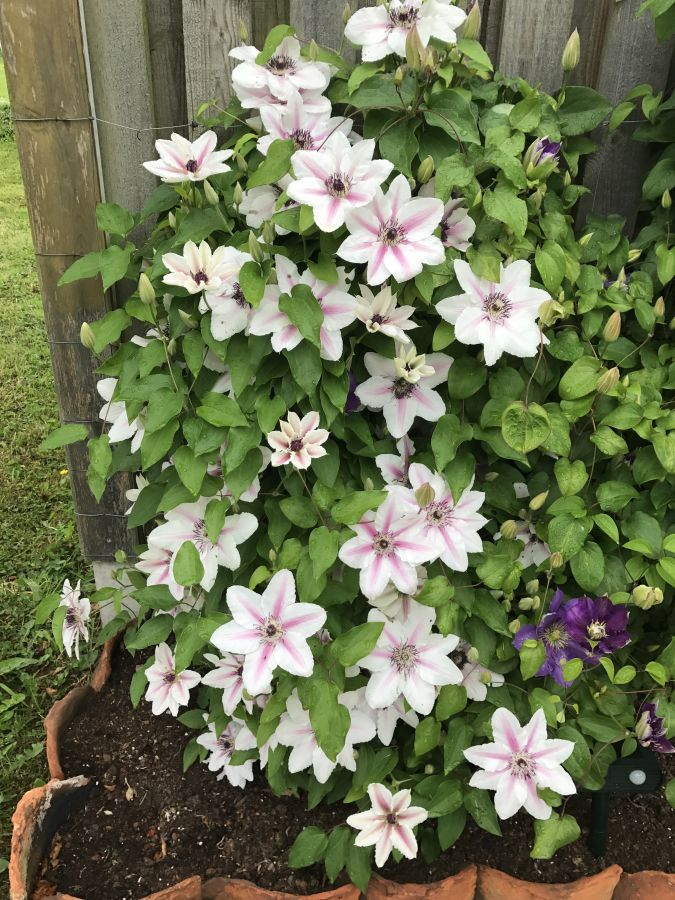 Clematis Countess of Wessex in our garden