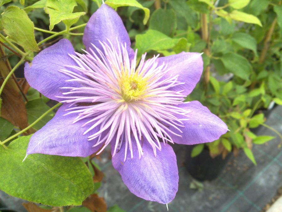 Clematis Crystal Fountain has a fantastic centre