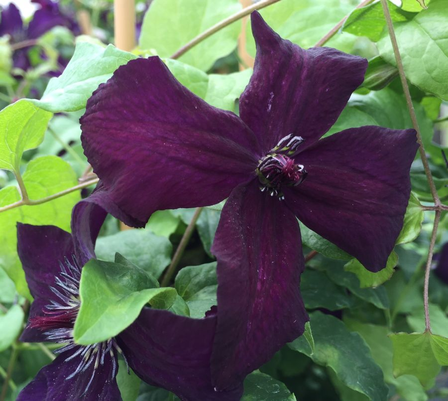 Clematis Dark Eyes close up