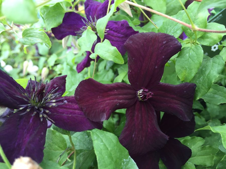 Clematis Dark Eyes great colour