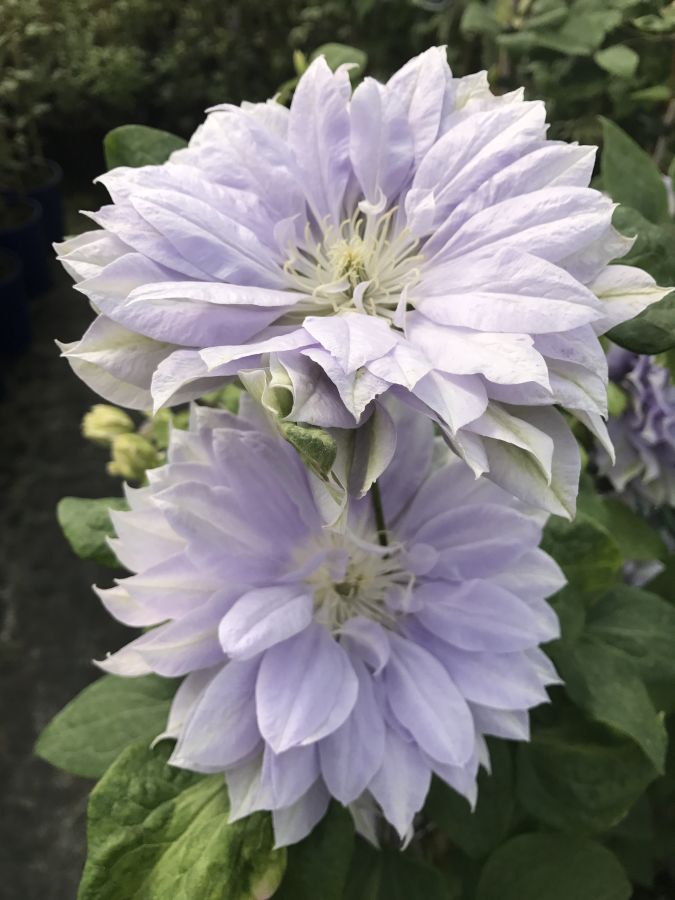 Clematis Dennys Double nice pair