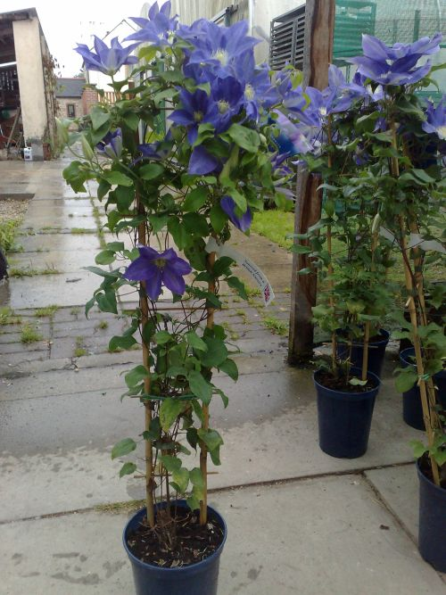 Clematis Diana's Delight they are all good strong plants
