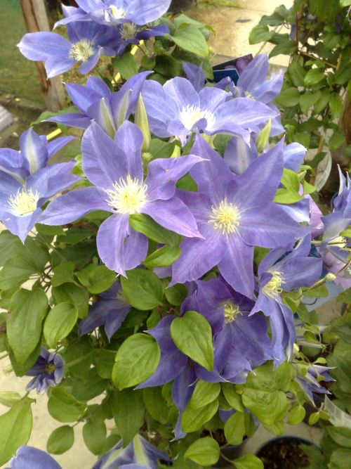 Clematis Diana's Delight Very free flowering