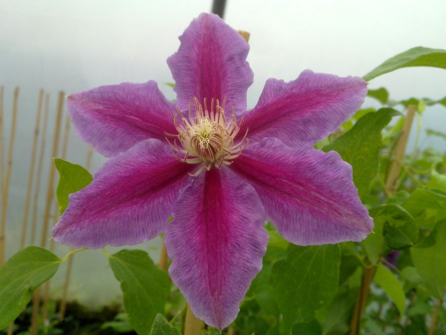 Clematis Doctor Ruppel close up