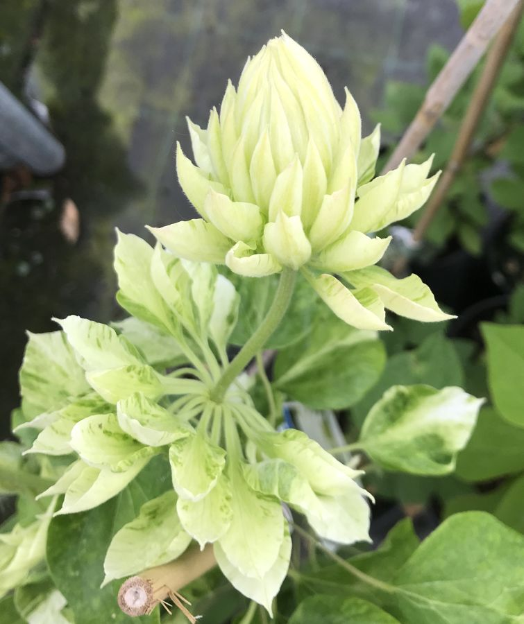 Clematis Duchess of Edinburgh buds