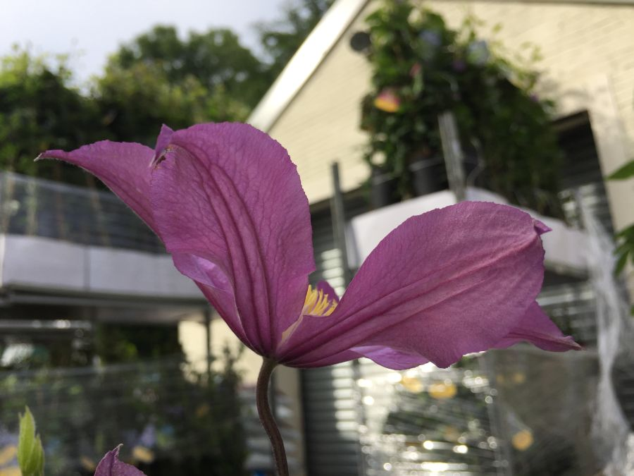 Clematis Amazing London, East river great cut flower back shot