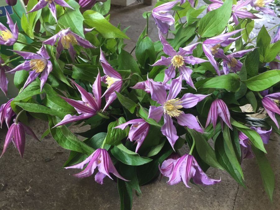 Clematis Amazing London, East river great cut flower prep for chelsea