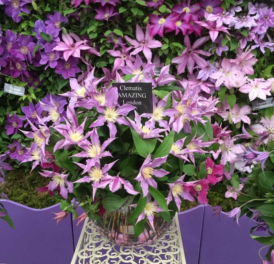 Clematis Amazing London, East river great cut flower at chelsea 2015