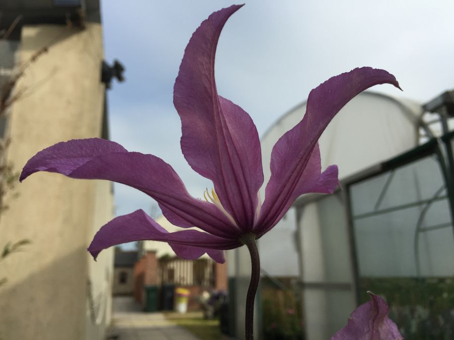 Clematis Amazing London, East river great cut flower under side