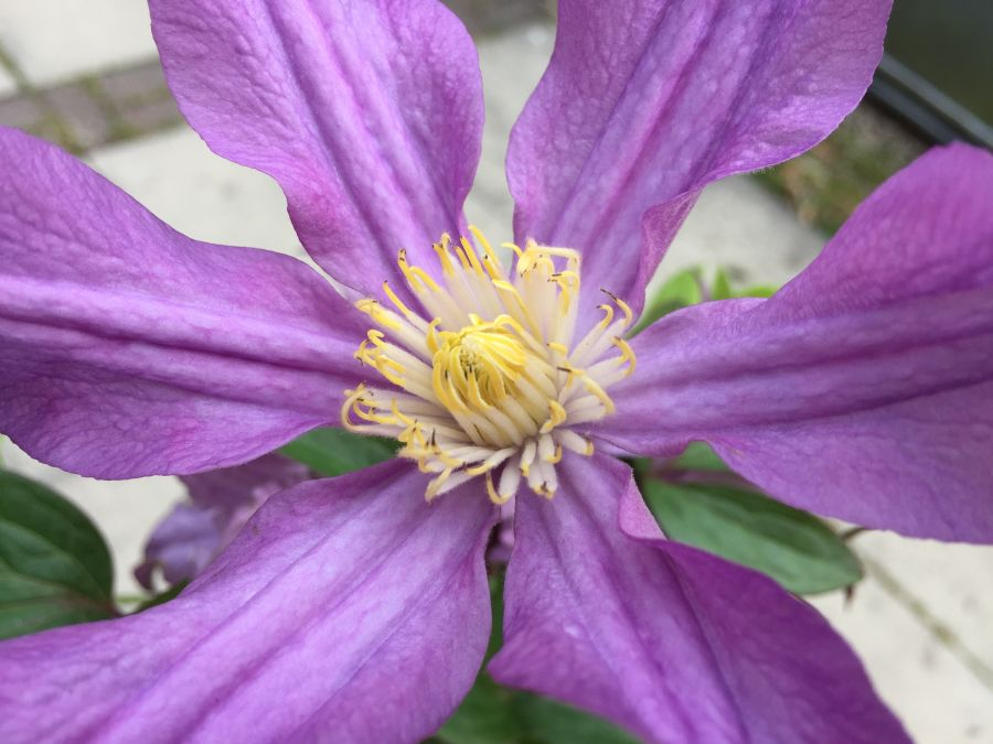 Clematis Amazing London, East river great cut flower close up