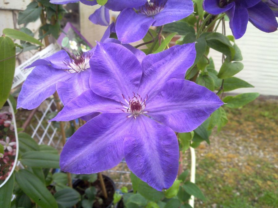 Clematis Elsa  Spath in good light