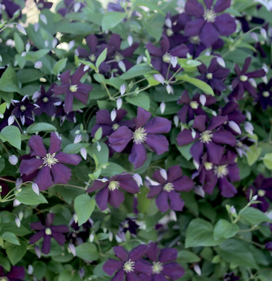 Clematis etoile violette taylors clematis - Clematis viticella ...