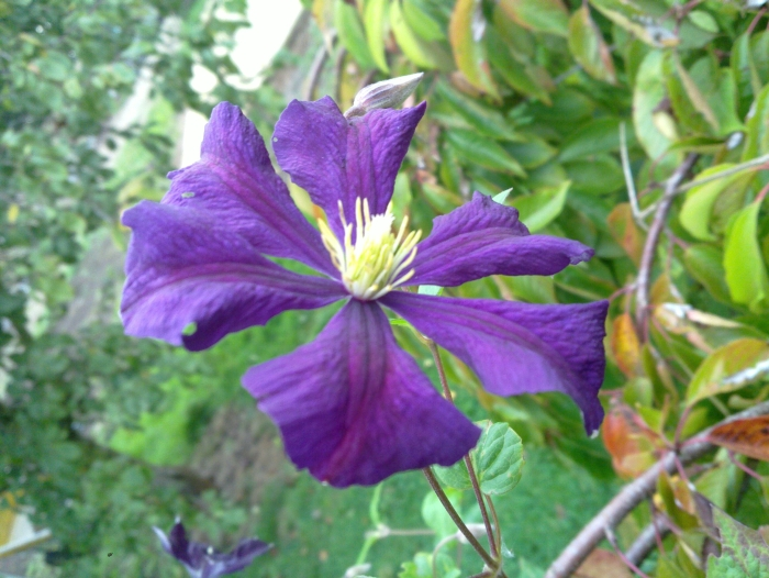 Clematis Etoile Violette up close, good size