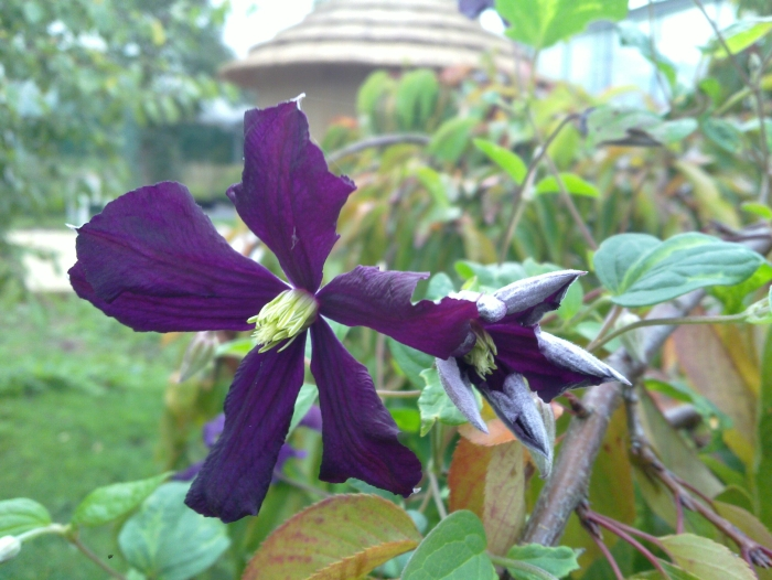 Clematis Etoile Violette nearly open