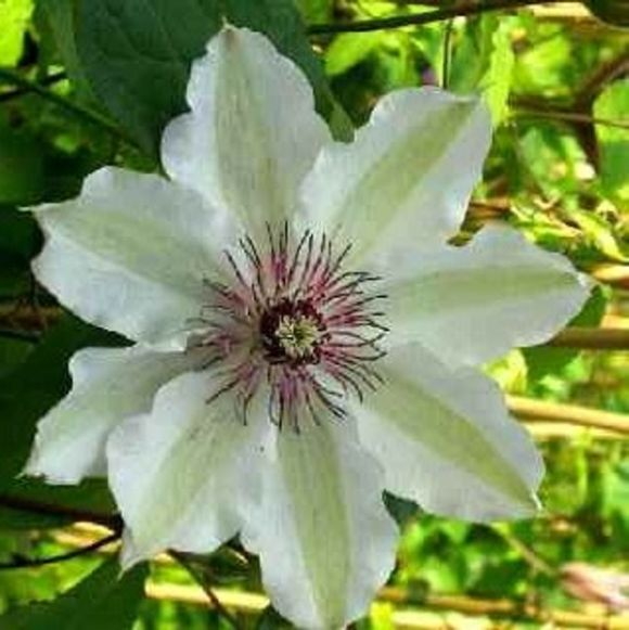 Clematis Fair Rosamond just opening with green tinge sepals old picture