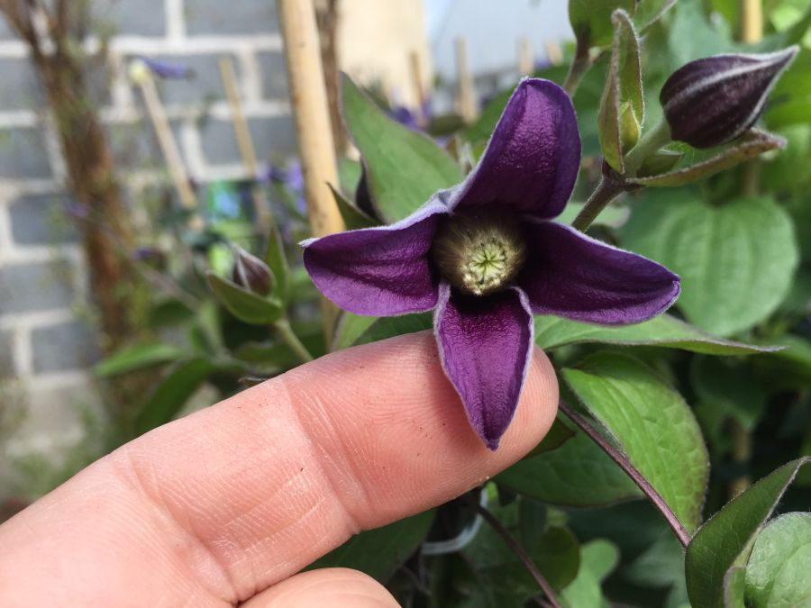 Clematis Fascination in flower