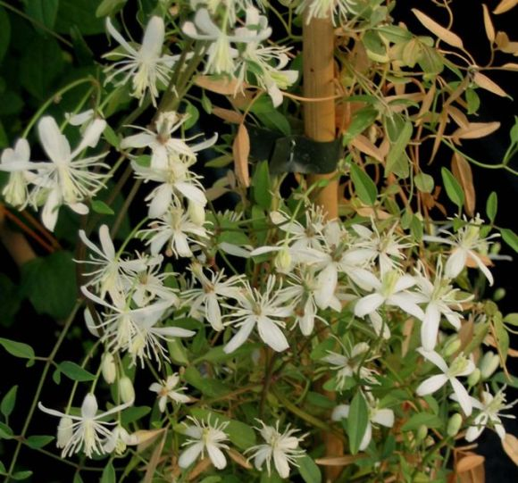 clematis flammula masses of small white stars