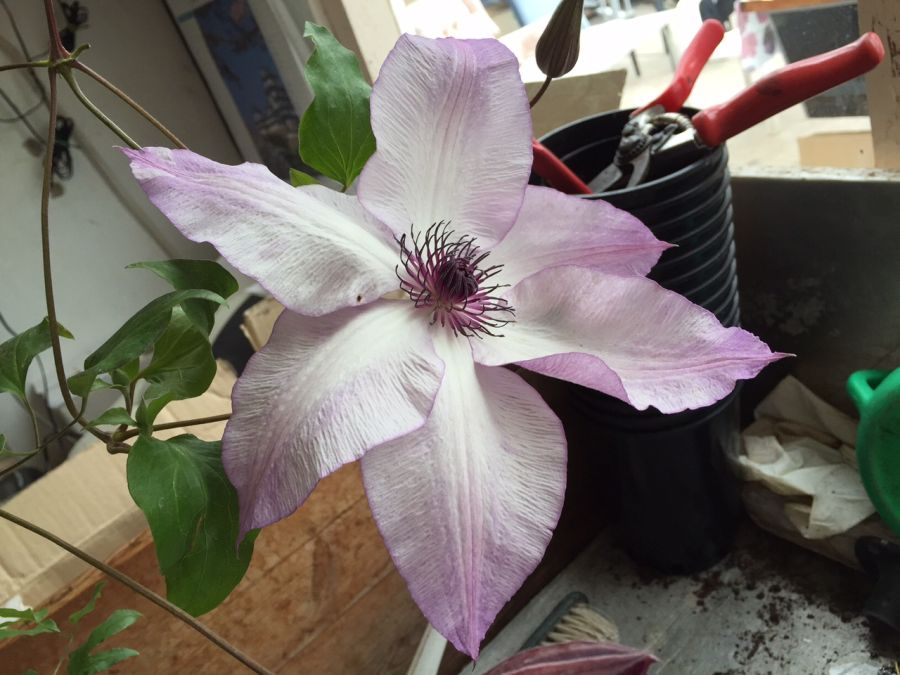 Clematis Fond Memories great colouring