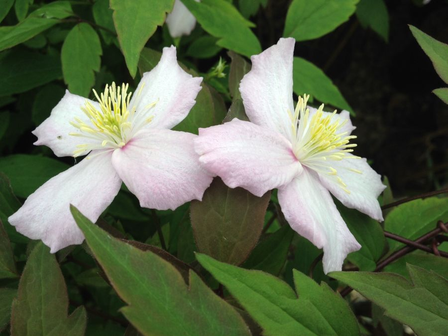 Clematis Montana Fragrant Spring nice pair