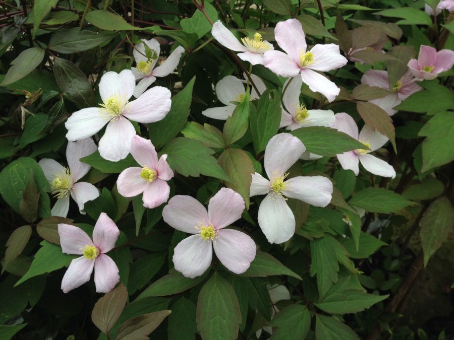 Clematis Montana Fragrant Spring, highly perfumed