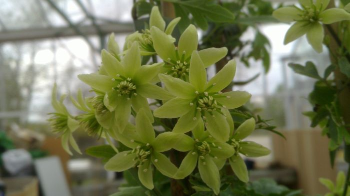 Clematis Fragrant Oberon masses of small flowers