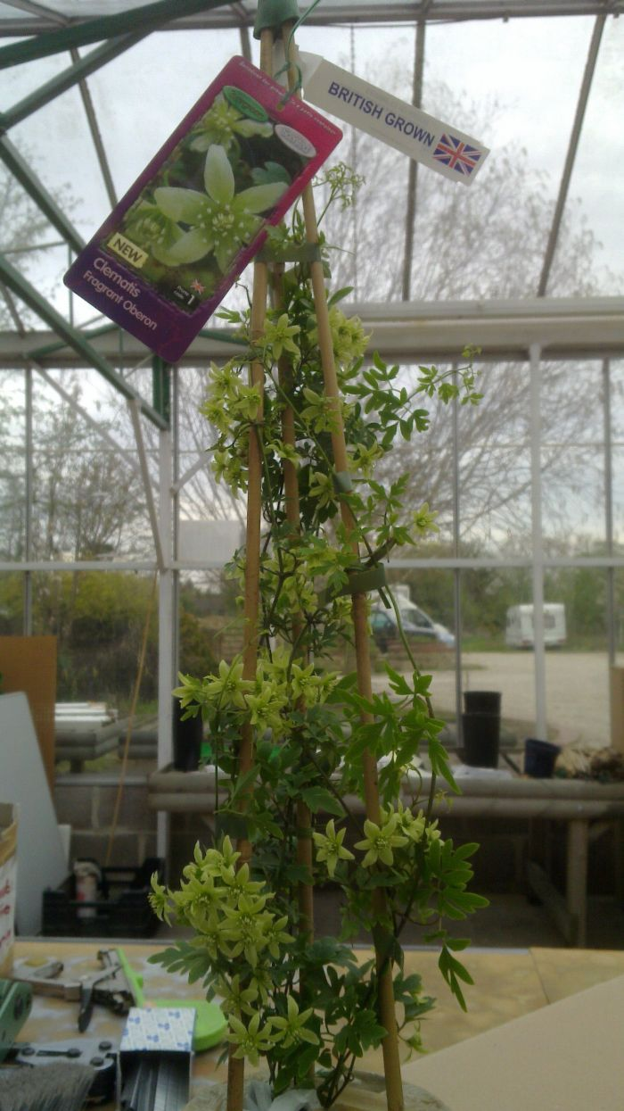 Clematis Fragrant Oberon random full size plant in early April