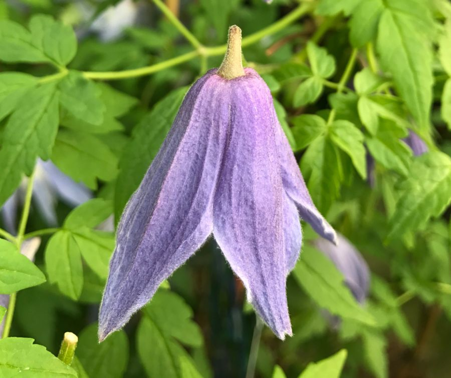 clematis alpina Francis Rivis single shot