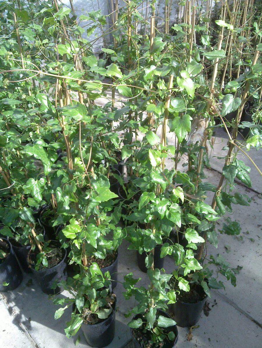 Clematis Cirrhosa Freckles foliage