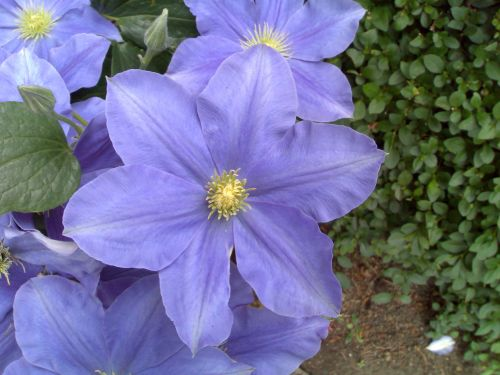 clematis fuji musume has large flowers too