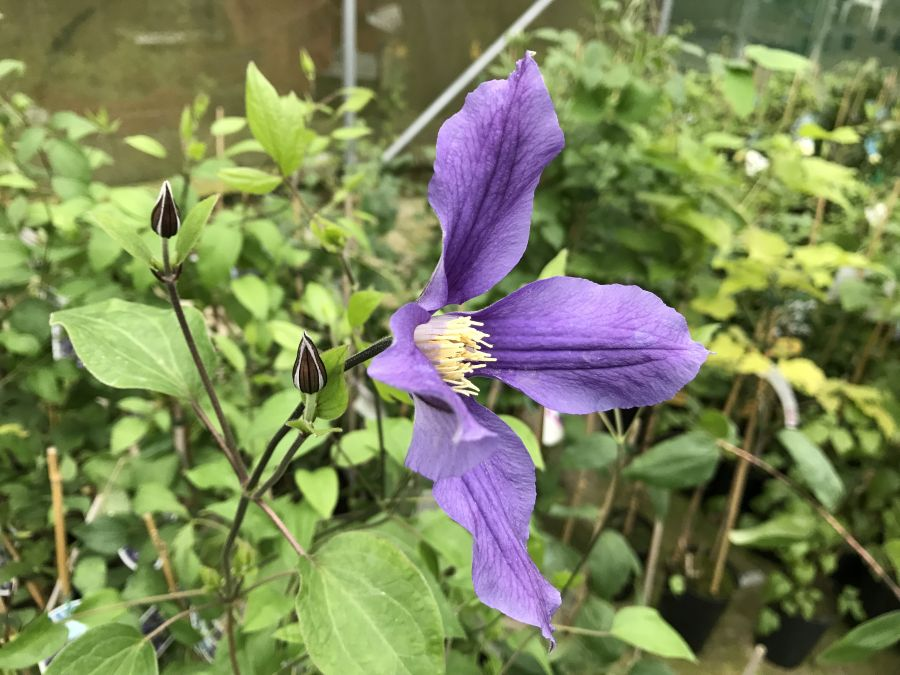 Clematis Fukuzono fully open
