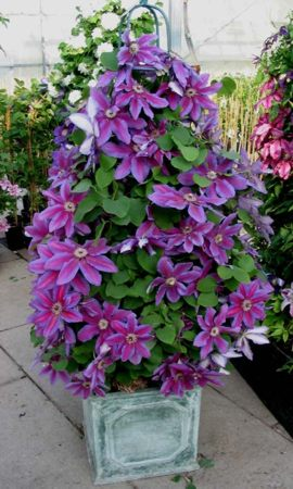 Clematis Fireworks ready to go to the flowershow