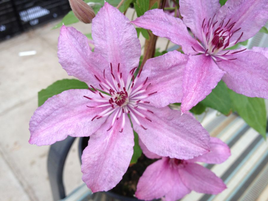 Clematis Hagley Hybrid close up