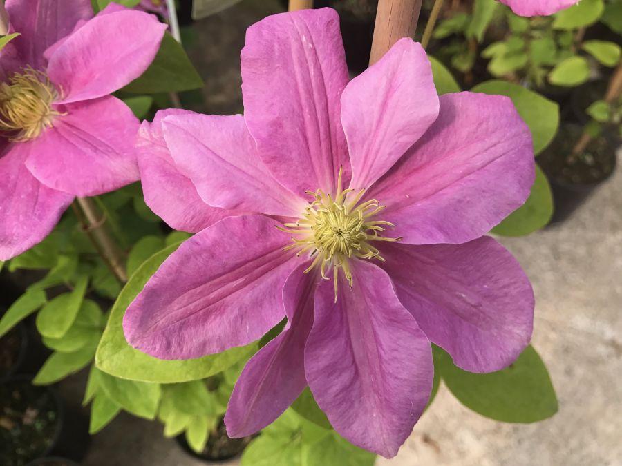 Clematis Hanagurama nice flat pink flower