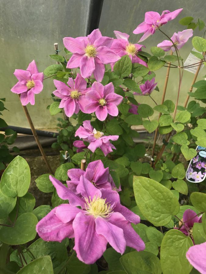 Clematis Hanagurama group shot