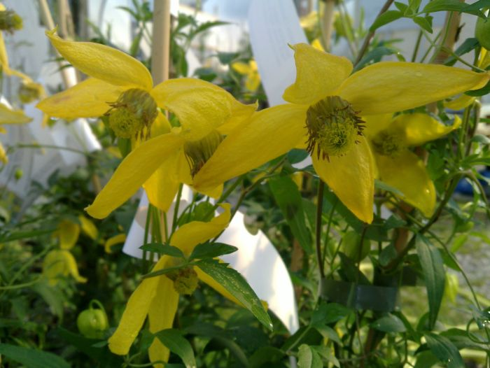 Clematis tangutica helios group shot