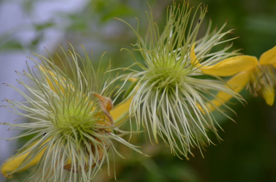 Clematis tangutica helios seed heads changing