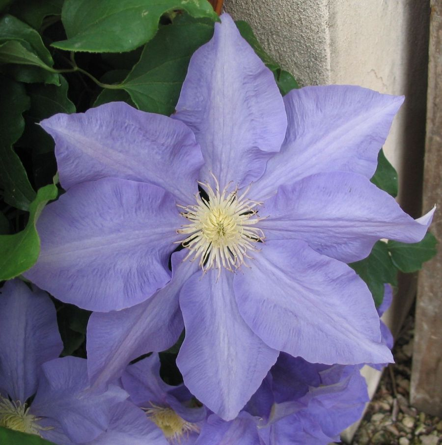 Clematis H.F.Young close up