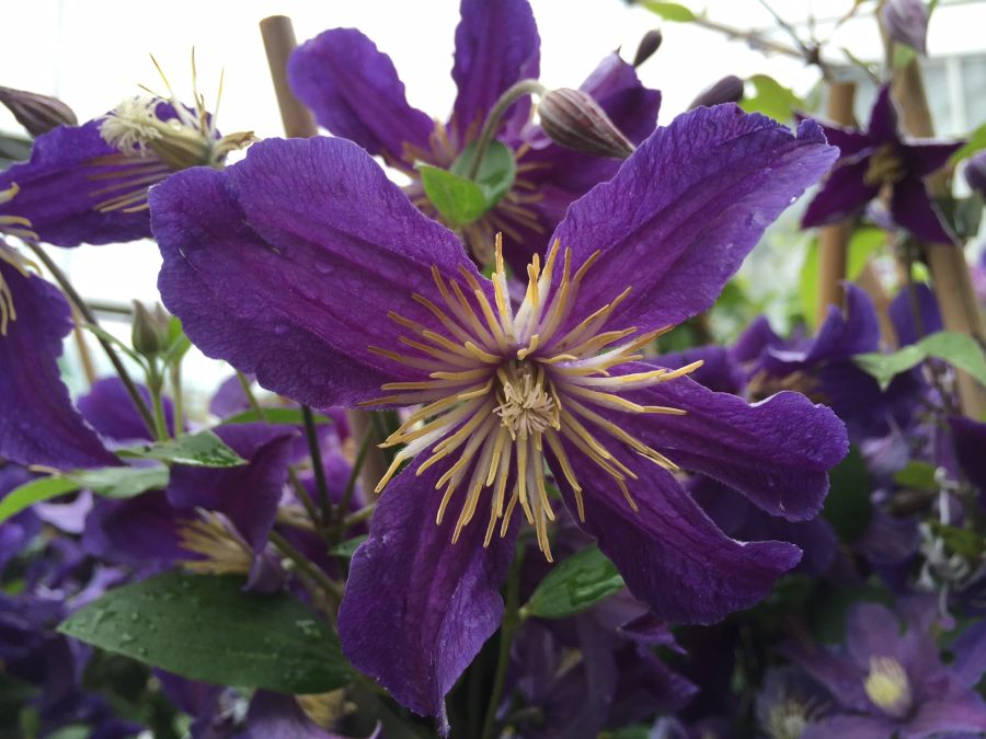 Clematis Hudson River looking downwards
