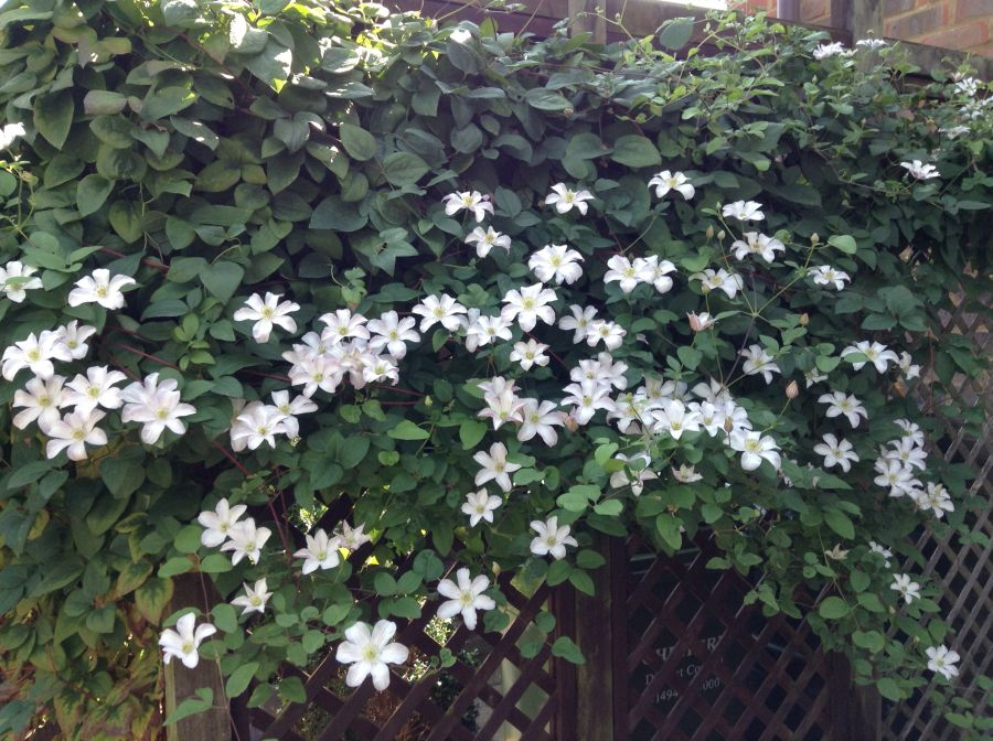 Clematis Huldine mass coverage