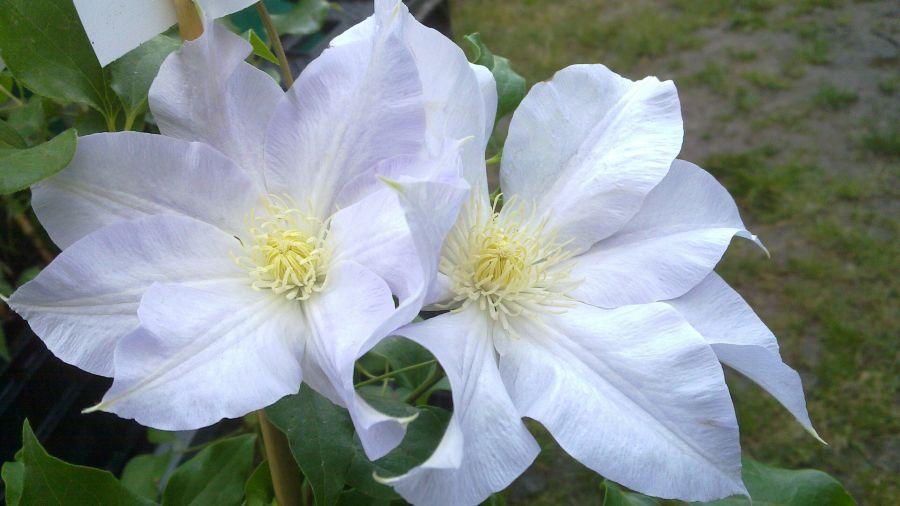 Clematis Ice blue pair shot